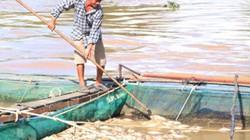 Đắk Nông: Sau bão số 12, 300 tấn cá lồng lăn ra chết ND mất tiền tỷ