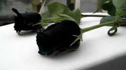 Loài hoa hồng đen kỳ lạ chỉ mọc ở một nơi duy nhất trên thế giới