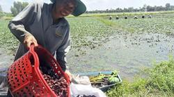 Trồng 7 công ấu, ngày nào cũng có 1,5 triệu chưa kể tiền từ cá, lúa