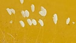 Phát hiện sinh vật nghi hoa Ưu Đàm ở đường lên Tây Thiên – Tam Đảo