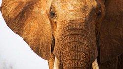 Đến gần chụp ảnh, bị voi châu Phi truy đuổi, giày chết