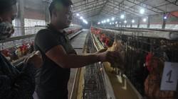 Nông dân làm giàu: 9X học nước ngoài 6 năm về quê...nuôi gà