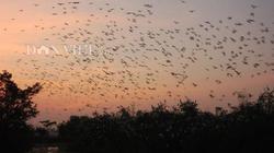 Clip: Đã mắt xem hàng vạn con cò bay rợp trời, đậu nặng trĩu cây