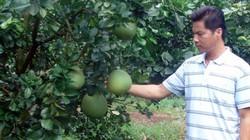Dịch bệnh + mưa nhiều, nhà vườn lo phá sản vụ trái cây dịp tết
