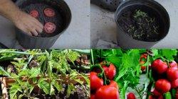 Lạ đời cách trồng cà chua 'dễ hơn ăn kẹo', sau được cả vườn trĩu quả
