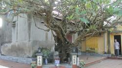 """Bật mí chuyện ly kỳ về """"cụ"""" cây đại cổ thụ hơn 400 năm trên đất cảng"""