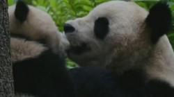 """""""Đỏ mặt"""" với màn tình tứ của cặp gấu trúc"""