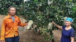 16 năm ròng, đưa thành công cả ngàn cây bưởi Diễn và cam về đồi K4