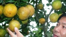 Làm giàu ở nông thôn: Mê mẩn vườn cam tiền tỷ của chàng kỹ sư viễn thông