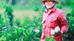 Làm giàu ở nông thôn: Trồng ổi lê Đài Loan, thu 30 triệu/tháng