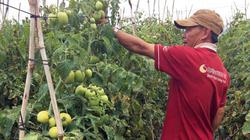 Làm ăn liều: Múc bỏ 1ha cà phê trồng... cà chua, lão nông lời gấp 3