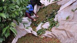 """Cà phê chín đỏ vườn, dân Lâm Đồng lại lo nghĩ kế chống """"cà tặc"""""""
