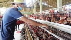 Làm giàu ở nông thôn: Nuôi 7.000 gà đẻ, lãi 20 triệu đồng/tháng.