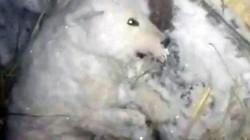Phẫn nộ cảnh chó đông cứng trong quan tài băng âm 32 độ ở Nga
