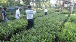 Đắk Lắk: Tạm dừng lập quy hoạch trồng cây mắc ca