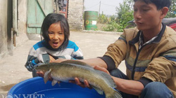 Nuôi con gì bán Tết: Kiếm trăm triệu nhờ nuôi loài cá lóc đầu nhọn