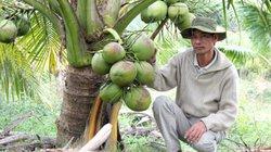 LẠ MÀ HAY: Trồng vườn dừa thơm mùi lá dứa, cứ đếm trái mà thu tiền