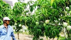 Tin vui cho nông dân: 3.000 tấn xoài Việt Nam sẽ được xuất sang Mỹ
