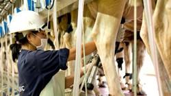 TH mang công nghệ cao trong chăn nuôi bò sữa về miền biên ải