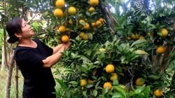 Chiêm ngưỡng đồi cam Chanh vàng rực trĩu quả vào mùa thu hoạch