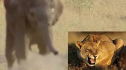 Cả đàn sư tử liều mạng tấn công voi con để nhận kết cục thảm