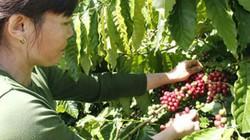 Người trồng cà phê, hộ nuôi bò sinh sản từ vốn ưu đãi
