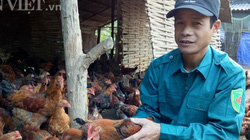 Làm giàu ở nông thôn: Gà Mía khỏe, nhanh lớn, thịt ngon nhờ ăn giun quế
