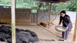 Chăm 400 con lợn rừng, lợn mán, mệt bở hơi tai mà có tiền cục