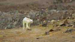 Gấu Bắc Cực hốc hác, lê lết đi tìm đồ ăn trong vô vọng