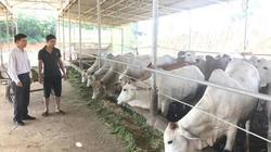Làm giàu ở nông thôn: Thu tiền tỷ từ nuôi vỗ béo bò Campuchia
