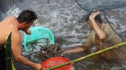 Lãi cao ngất ngưởng, người dân Cà Mau đổ xô nuôi tôm càng xanh