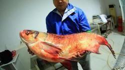 """TQ: Bắt được cá mè vua """"thành tinh"""", lớn nhất trong 50 năm"""