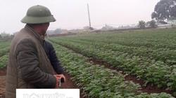 """Đến khổ: Nông dân làm thơ """"khóc"""" khoai tây tỉnh hỗ trợ không ra củ"""