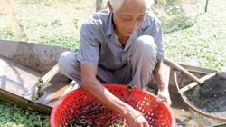 Chuyển từ nuôi cá sang thả ốc nhồi, cứ 1 sào thu 60-70 triệu