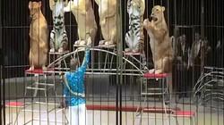 Sốc khi thấy hổ, sư tử béo núng nính diễn xiếc như hề ở Nga