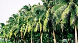 Năm mới, nghĩ về hàng dừa soi bóng nước: Nhớ quê đến quay quắt