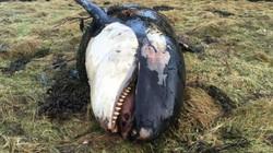 Anh: Cuồng phong cuốn cá voi sát thủ vào đất liền 50m