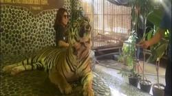 Thái Lan: Hổ nằm bất lực cho người cầm gậy chọc trăm lần vào mặt