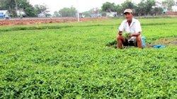 Làm giàu ở nông thôn: 3 giờ sáng cắt rau răm, thu 20 triệu/tháng