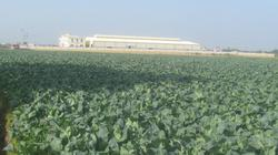 Trồng ra bán không kịp, cả huyện thu 500 tỷ từ vùng rau màu vụ đông