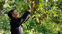 Trồng 130 cây hồng không hạt, thu 3 tấn quả, có 75 triệu/mùa