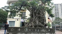 Doanh nhân muốn đổi 8 lô đất ở Thủ đô lấy cây sanh cổ nhất châu Á