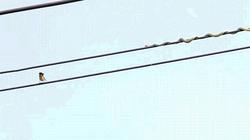 Rắn trườn như làm xiếc trên dây điện để săn chim