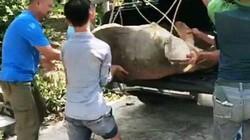 """Cứu kịp rùa """"khủng"""" 120kg khi sắp bị dội nước sôi làm thịt"""