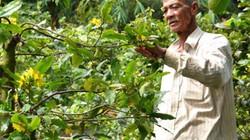 Làm giàu ở nông thôn: Triệu phú trồng mai vàng giữa vùng rốn lũ