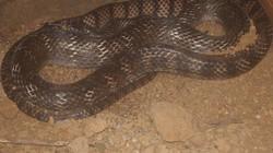 Sởn gai ốc trước đàn rắn trăm triệu của lão nông U50