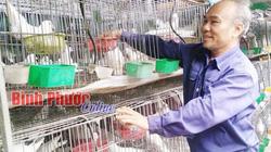 Lấy lá sung nấu nước chữa bệnh cho đàn bồ câu, lời 30 triệu/tháng