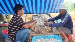 Nấm rơm tăng giá lên 60 ngàn/ký, nhà nông miền Tây thêm tiền