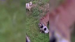 Nga: Báo Puma sổng chuồng cắn cổ chó trong vườn nhà
