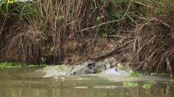 Video: Lạc vào cửa sông, cá mập bị cá sấu khổng lồ xơi tái